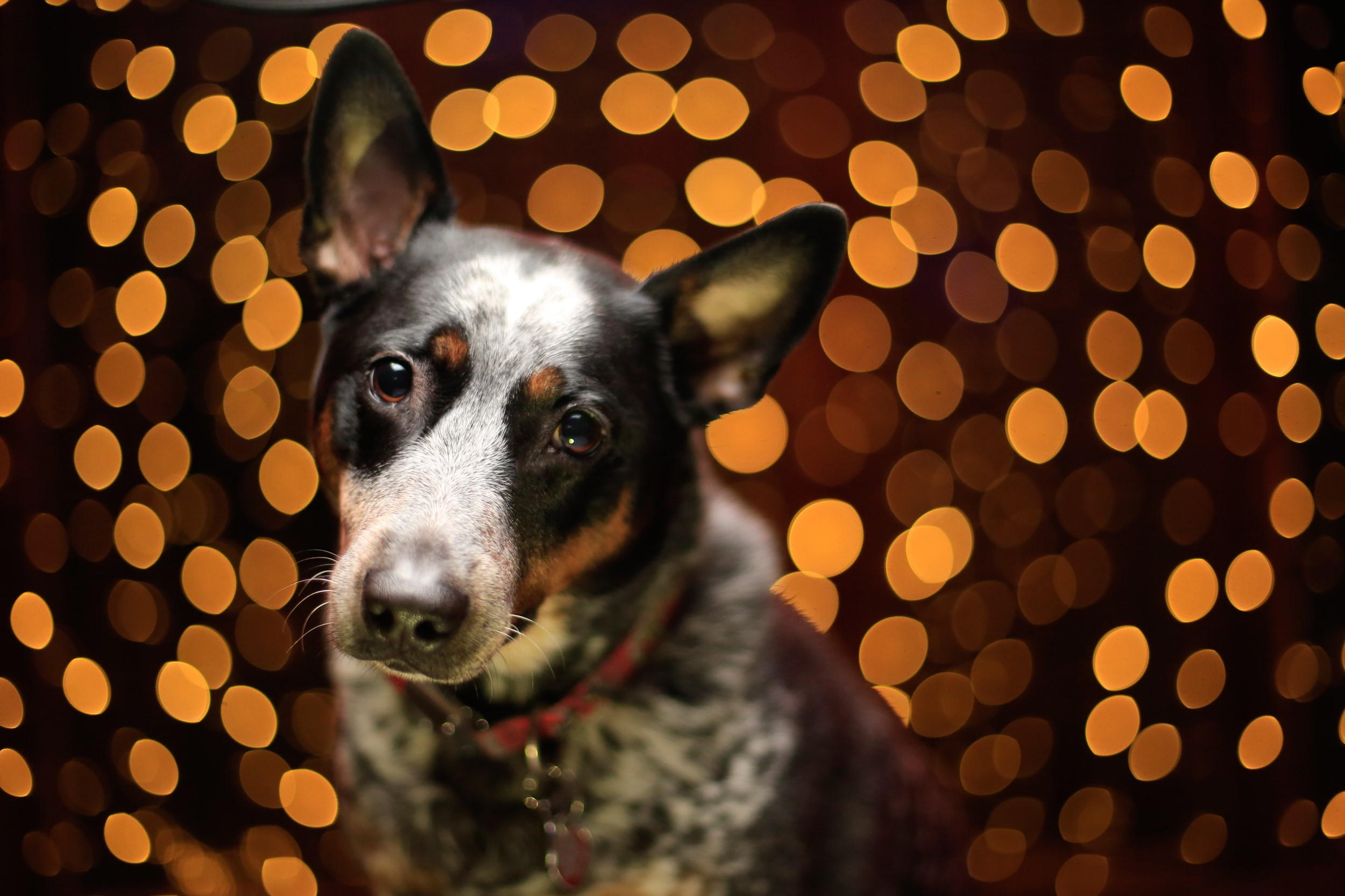 Christmas Pet Portrait Photography How-to in Real-Time!